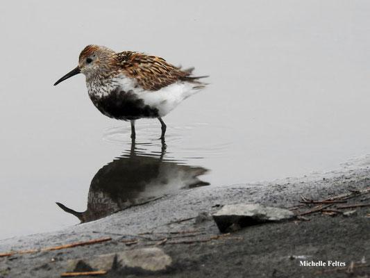 Bécasseau variable (réserve naturelle d'Ösland Islande)