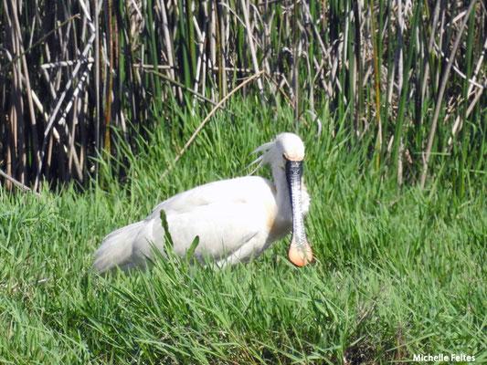 Spatule blanche (parc naturel de Donana Andalousie)