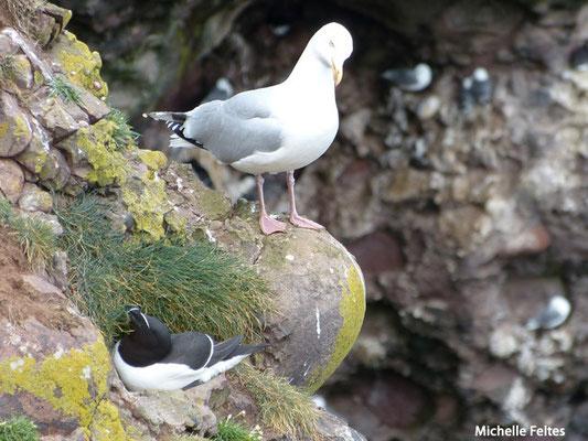 Pingouin torda et Goéland (Ecosse)