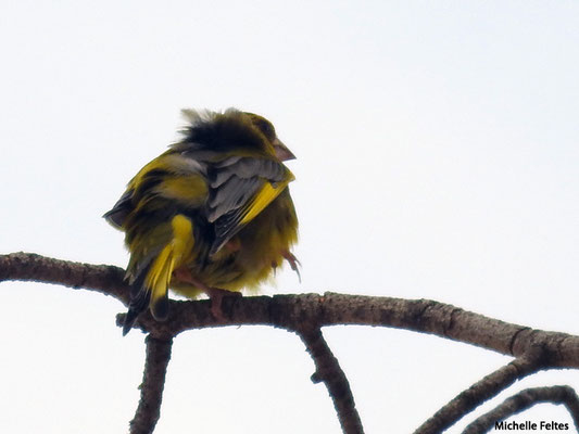 Serin cini   (parc naturel de la Ria Formosa Portugal)
