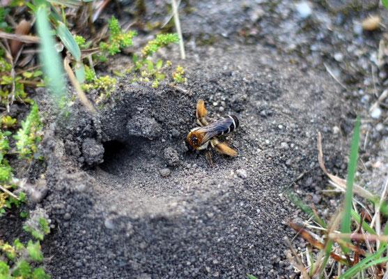 Hosenbienen am Nesteingang
