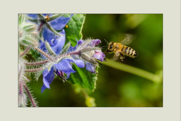 Biene am Borretsch