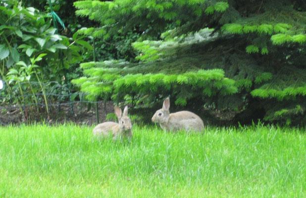 Das sind Kaninchen. Die wohnen neuerdings hier in der Gegend. Sie stören mich nicht.
