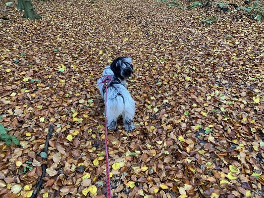 Wir gehen ein Stück den Hang hinauf. Schaut Euch mal diese Unordnung an: Überall Blätter, noch mehr als zu Hause! Frauchen sagt, das ist nunmal so im Herbst.