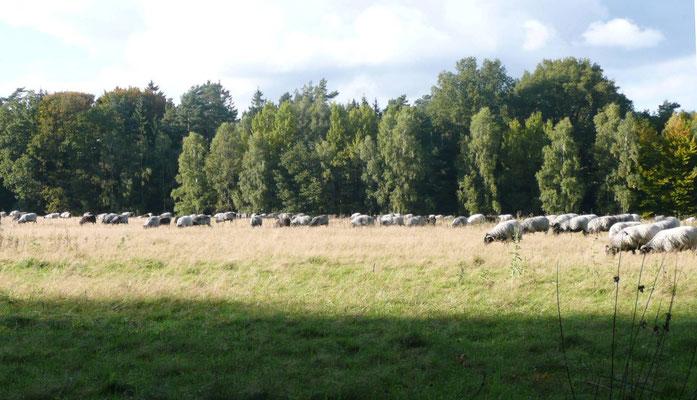 Unterwegs haben wir seltsame Sachen gesehen, z. B. Schafe, aber diese heißen hier Heidschnucken.