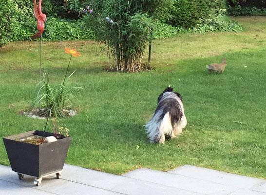 ... und verfolgt ein Kaninchen im Garten,