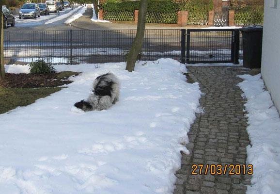 Wir sind wieder zu Hause und es liegt immer noch Schnee, in dem ich meinen Kopf schubbern kann ...