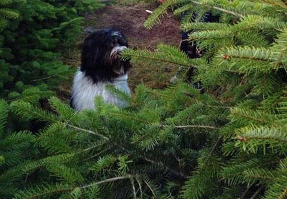 ... für Claudia und Ulf einen Tannenbaum auszusuchen.