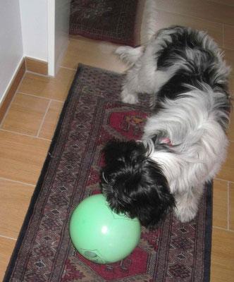 Mein Frauchen wäre nicht mein Frauchen, wenn ich nicht einen neuen Ball bekommen hätte. Sie sagt, es ist ein Luftballon.