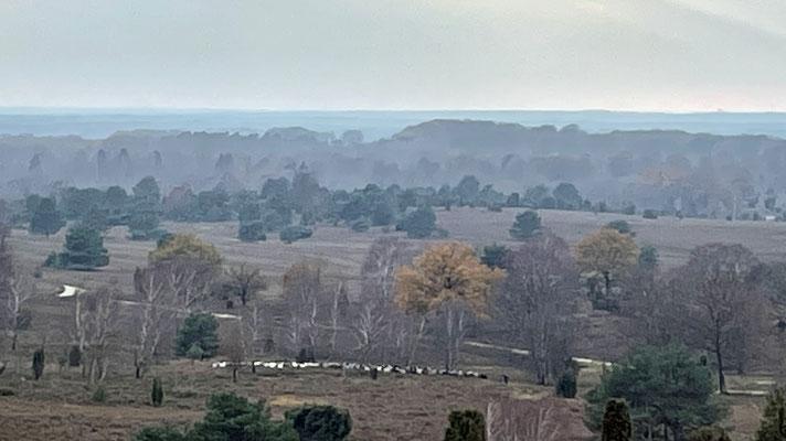 ... und sehen eine Herde Heidschnucken.