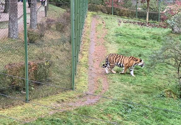 ... der andere Tiger