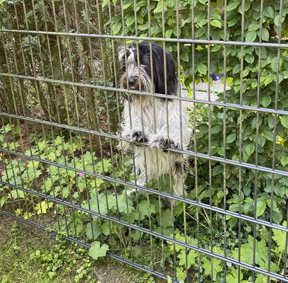 Ich höre Frauchen und suche sie, aber sie ist nicht im Garten. Ich flitze hinter die Hecke und siehe da, sie ist bei Tante Anne.