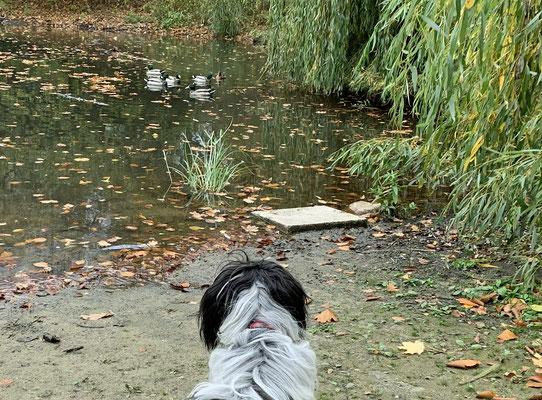 Im Teich in unserem Park schwimmen Enten. Ich würde gern mit ihnen spielen, ...