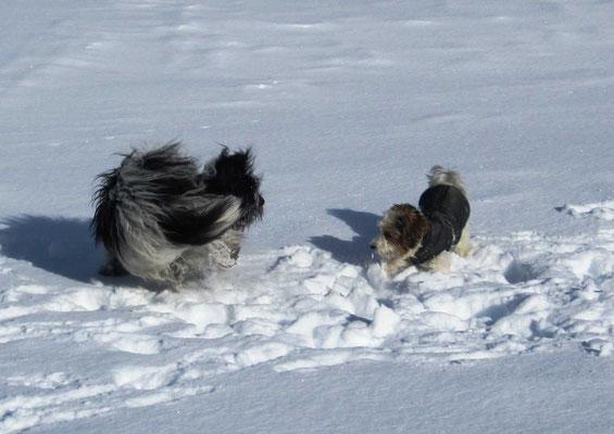 Beim Spaziergang mit Herrchen habe ich Chili kennengelernt. Chili und ich haben den Schnee plattgespielt, ...