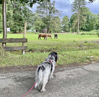 Auf dem Rückweg sehen wir Pferde. Nein, ich belle sie nicht mehr an.