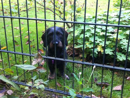 Das ist Marco, er wohnt bereits seit einigen Wochen nebenan. Leider hat Frauchen noch kein Foto ohne den Zaun machen können.