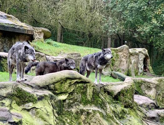 Die Wölfe sind ...