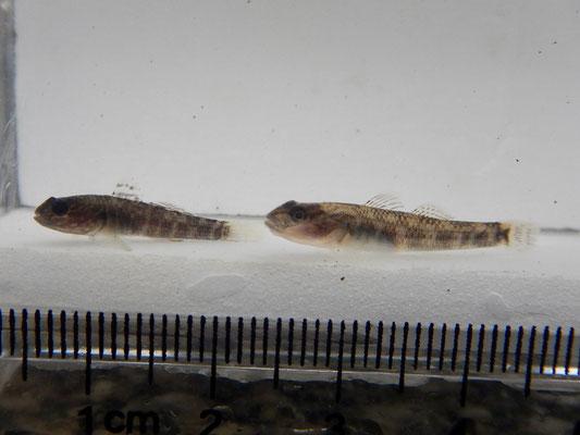 (左)ヌマチチブ(右)クロダハゼ