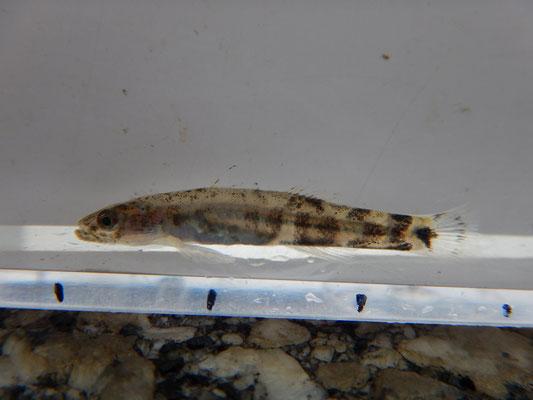 ウキゴリ(幼魚)