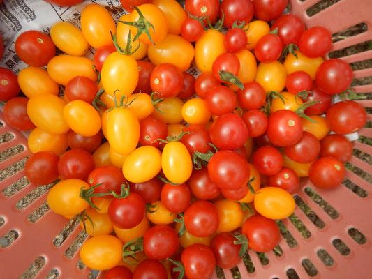 ミニトマトの収穫(持ち帰り用)
