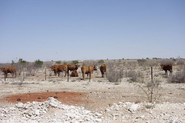 Ca. 120 eigene Rinder