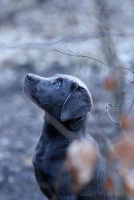 Silber Labrador Welpe