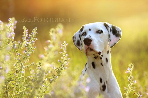 Tierfotografie Dalmatiner