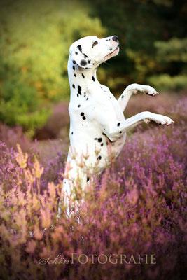 Dalmatiner in der Heide   Tierfotografie Berlin