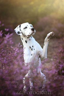 Dalmatiner in der Heide