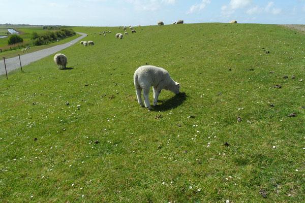 Schafherden auf dem Deich