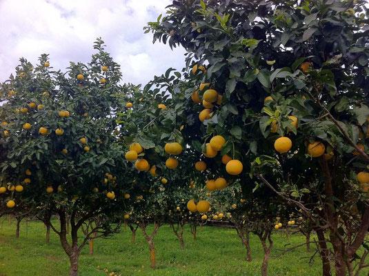 Grapefruits erntereif