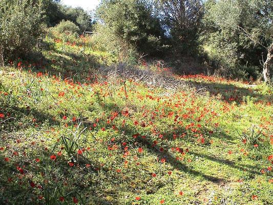 Blumenwiese im Olivenbereich
