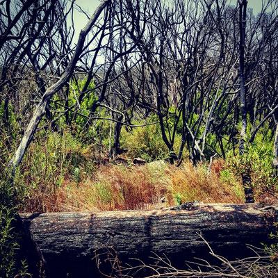 Immer wieder wüten Waldbrände auf La Gomera