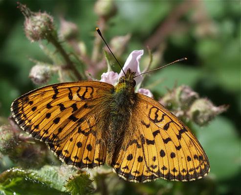 Brenthis ino, Mädesüß-Perlmutterfalter (Lepidoptera, Nymphalidae). - Sprockhövel