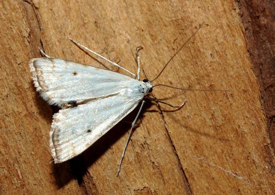 Cataclysta lemnata, Wasserlinsenzünsler (Lepidoptera, Crambidae). - Hattingen (Ökozelle, NABU)