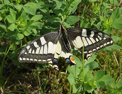 Papilio machaon, Sprockhövel 28.05.2019