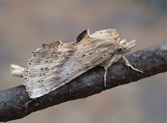 Pterostoma palpina, Palpenzahnspinner (Lepidoptera, Notodontidae). - Sprockhövel