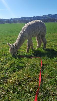 Alpaka am Grass fressen