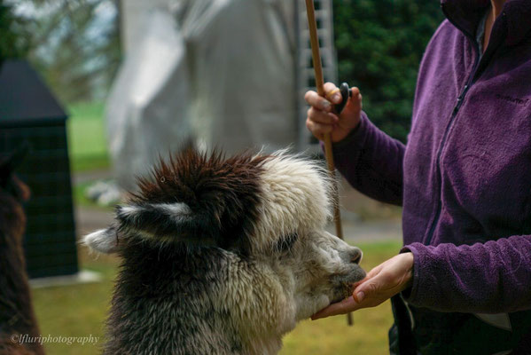 Graues Alpaka wird gefüttert