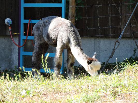 flauschiges Alpaka frisst Gras
