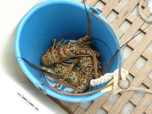 schon wieder Lobster