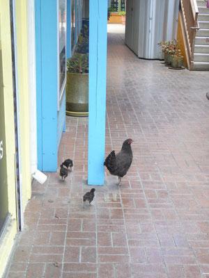 Die Hühner mit Küken sind allgegenwärtig