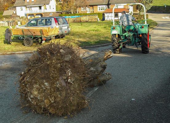Große Baumwurzel wird ausgegraben ... und abtransportiert.