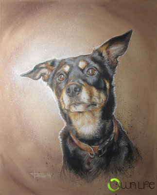 Hundeportrait Australian Kelpie 'Jeda'