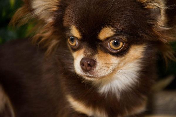 Chi-Love.de | Pedigree | Fachbegriffe und Abkuerzungen | Foto: Chihuahuas von den kleinen Piraten