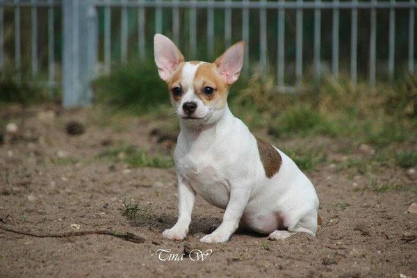 Chi-Love.de | Chihuahua | Vermittlung | Notfall | Tierheim
