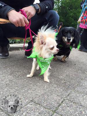 Chi-Love.de |SOKA Run e. v. | Chihuahua | Gemeinsam gegen Vorurteile