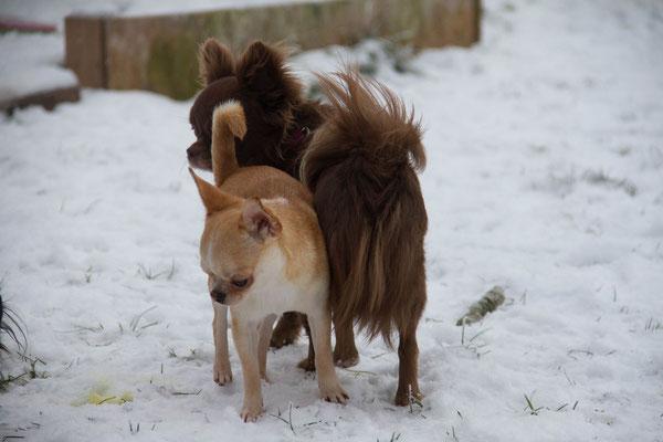 Chi-Love.de | BLOG | Magazin | Chihuahua-Schneeparade 2016 | Chihuahuas im Schnee