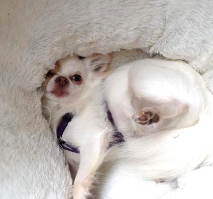 Chi-Love.de | Darf der Hund auf Sofa und Bett?  | Foto: Swiffer Chihuahua