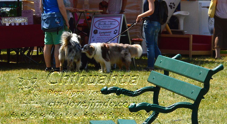 Chi-Love.de | Veranstaltungskalender für Mensch und Hund | Die Seite für Chihuahua-Eltern!